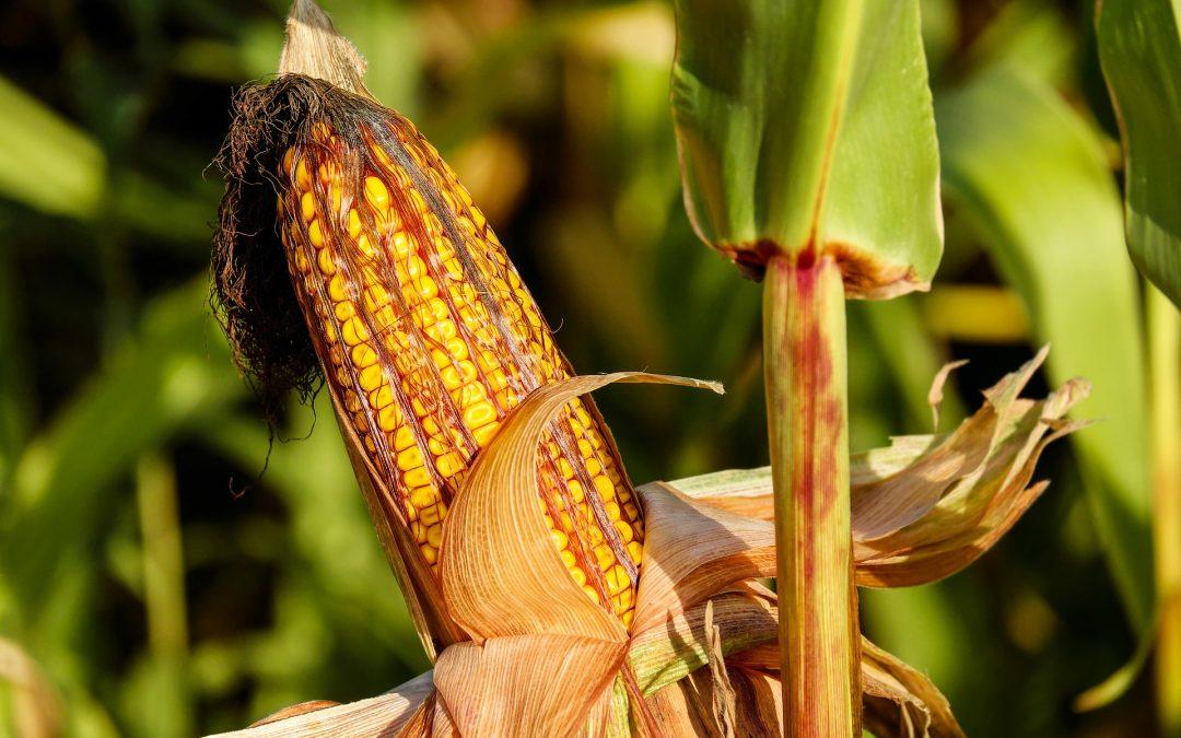 Le fermier qui cultivait un maïs d'excellente qualité